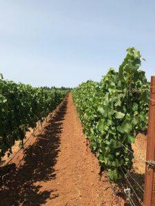 Photo of vineyard at Holloran Vineyard Wines